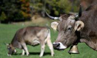 Suiços rejeitam alocação de dinheiros públicos a vacas chifrudas