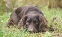 "Roubos de cães, a outra ""pandemia"" no Reino Unido"